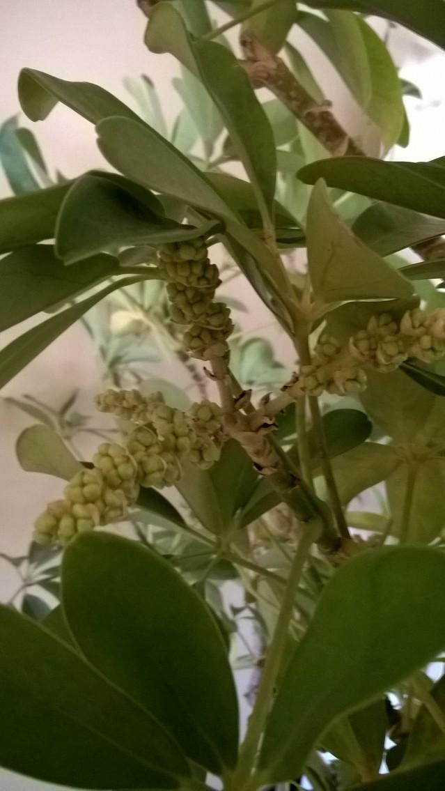 Mon Schefflera a fleuri 18012209444517991315491586
