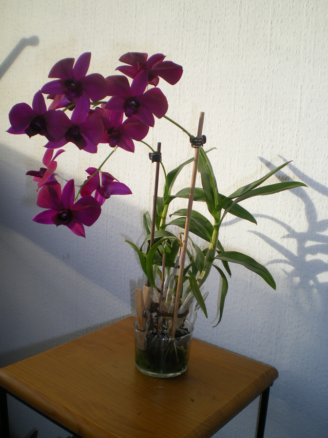 "Dendrobium Phalaepnosis ""Polar Fire"" 18012906521820151715517215"