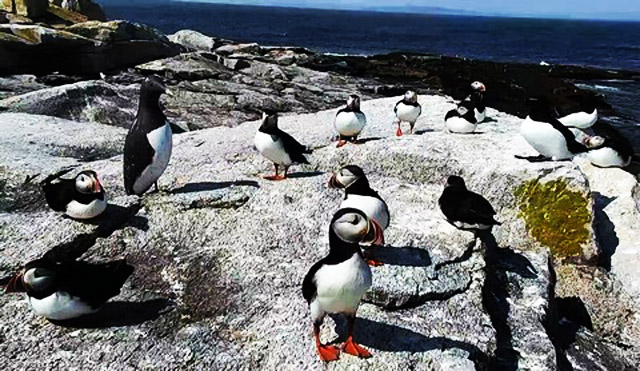 Macareux : Maine (Seal Island) 1802010451341858215527542