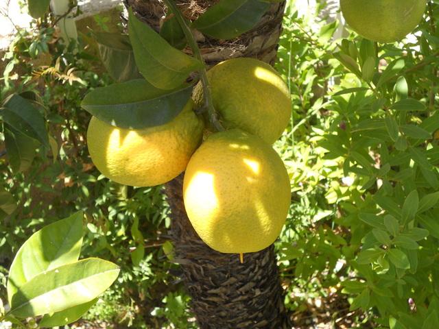 DSCN5405 oranges fines vertes mai